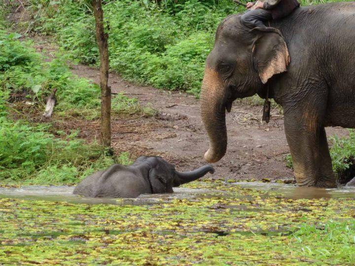 Elephants need to bathe to keep cool