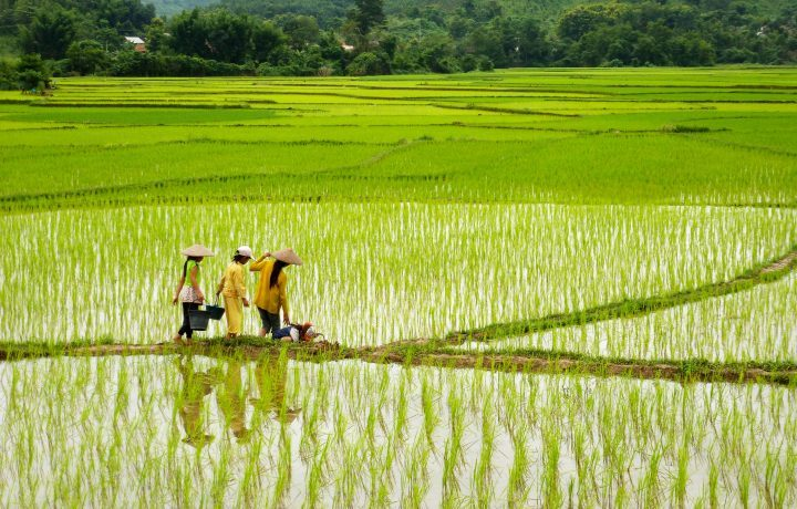 Rice paddies in the Nam Et-Phou Louey National Protected Area