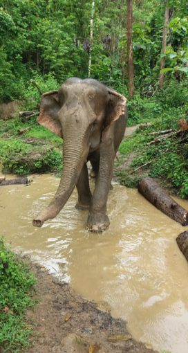 Elephant in Northern Laos
