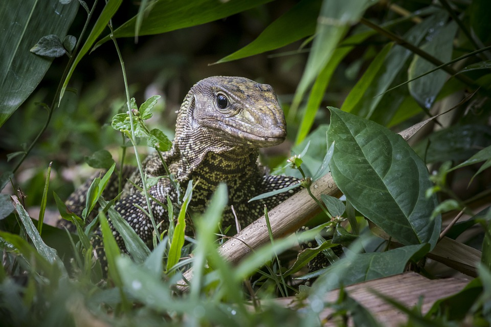 dangerous animals in borneo water monitor
